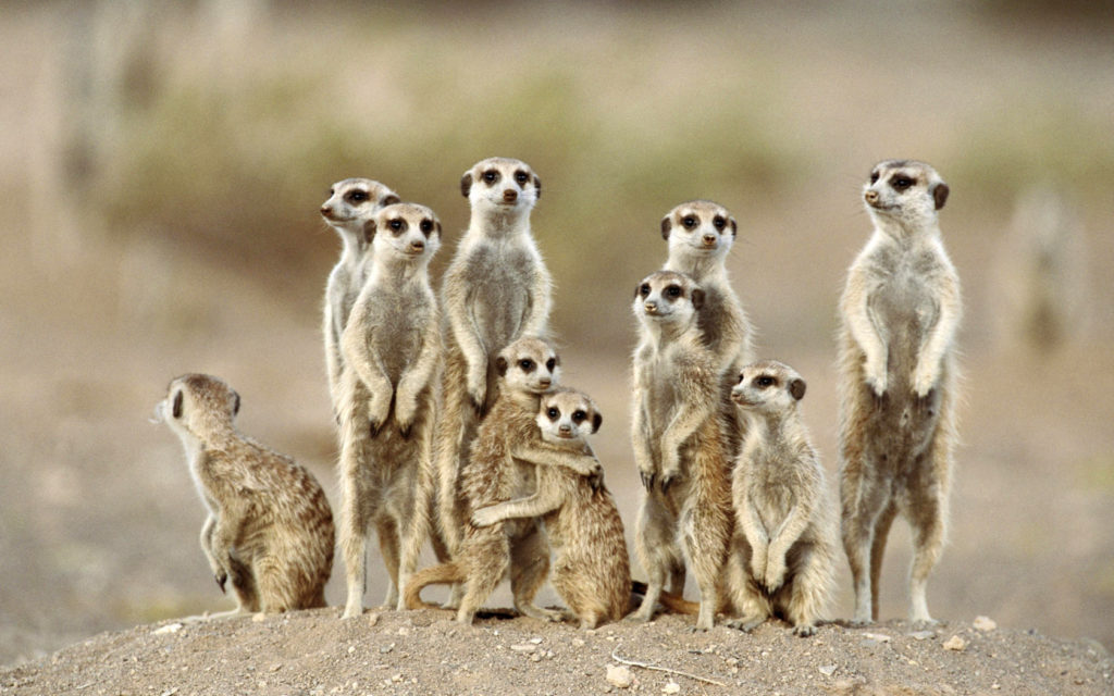 Meerkat Widescreen Wallpaper