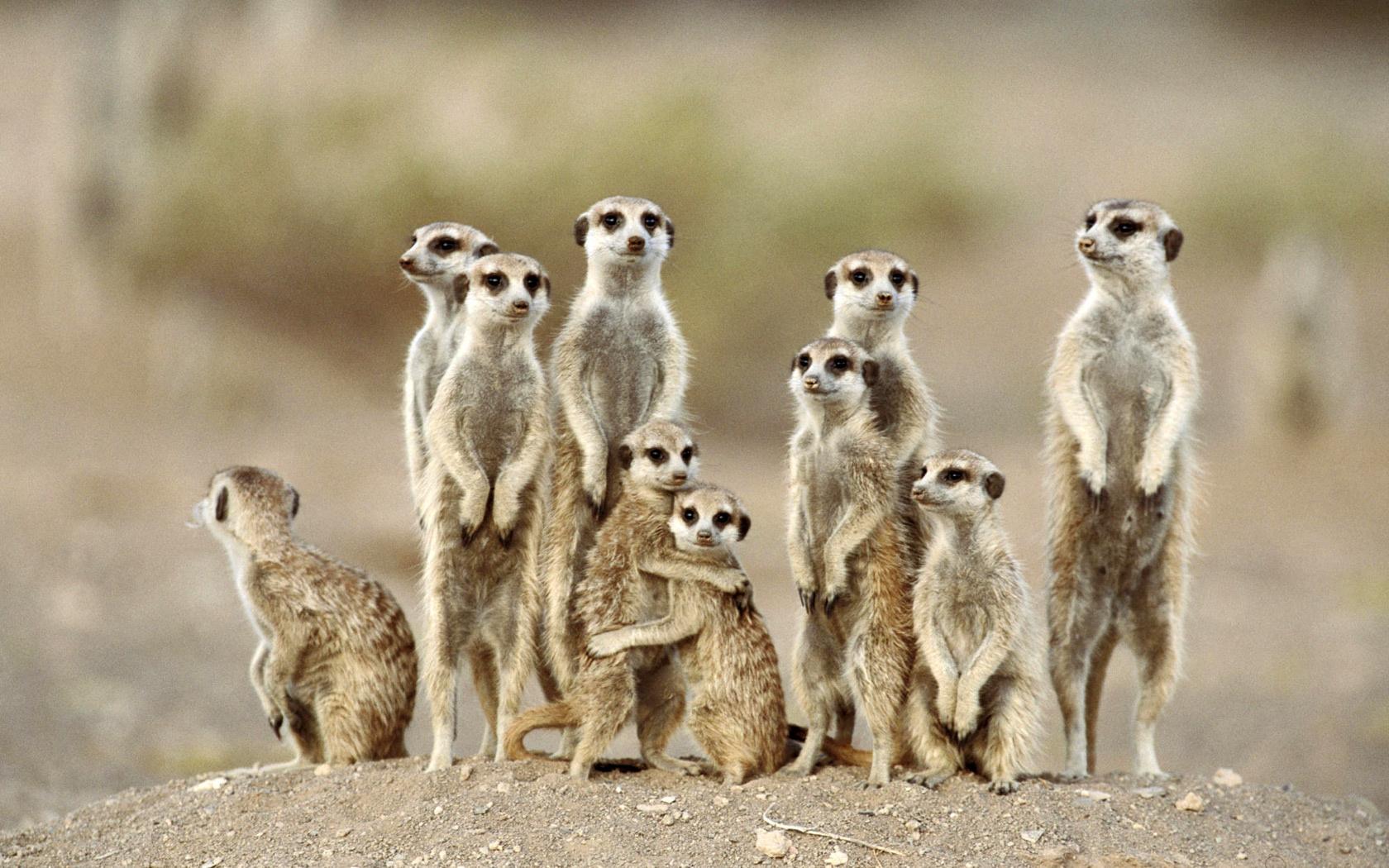 Meerkat Wallpapers, Pictures, Images