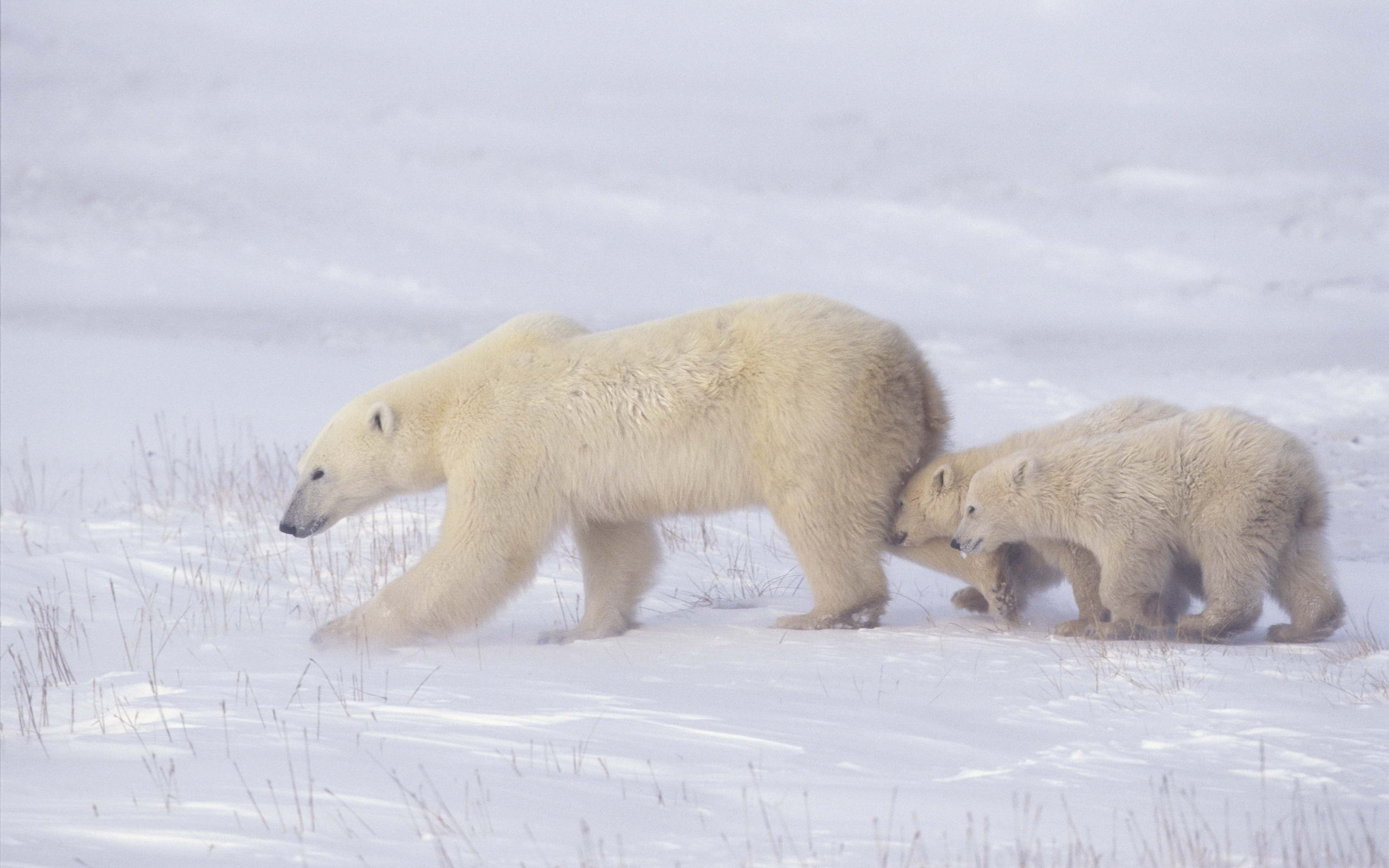 Polar Bear Wallpapers, Pictures, Images
