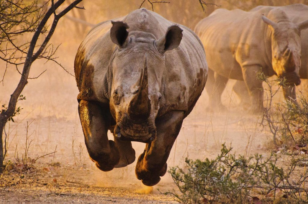 Rhino Wallpaper 2499x1660