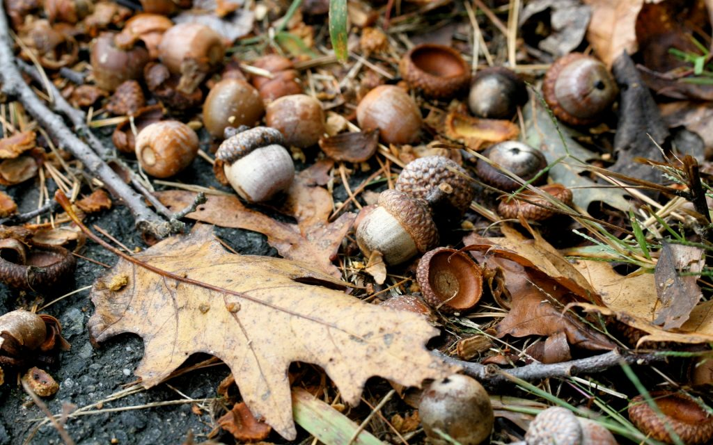 Acorn Widescreen Wallpaper