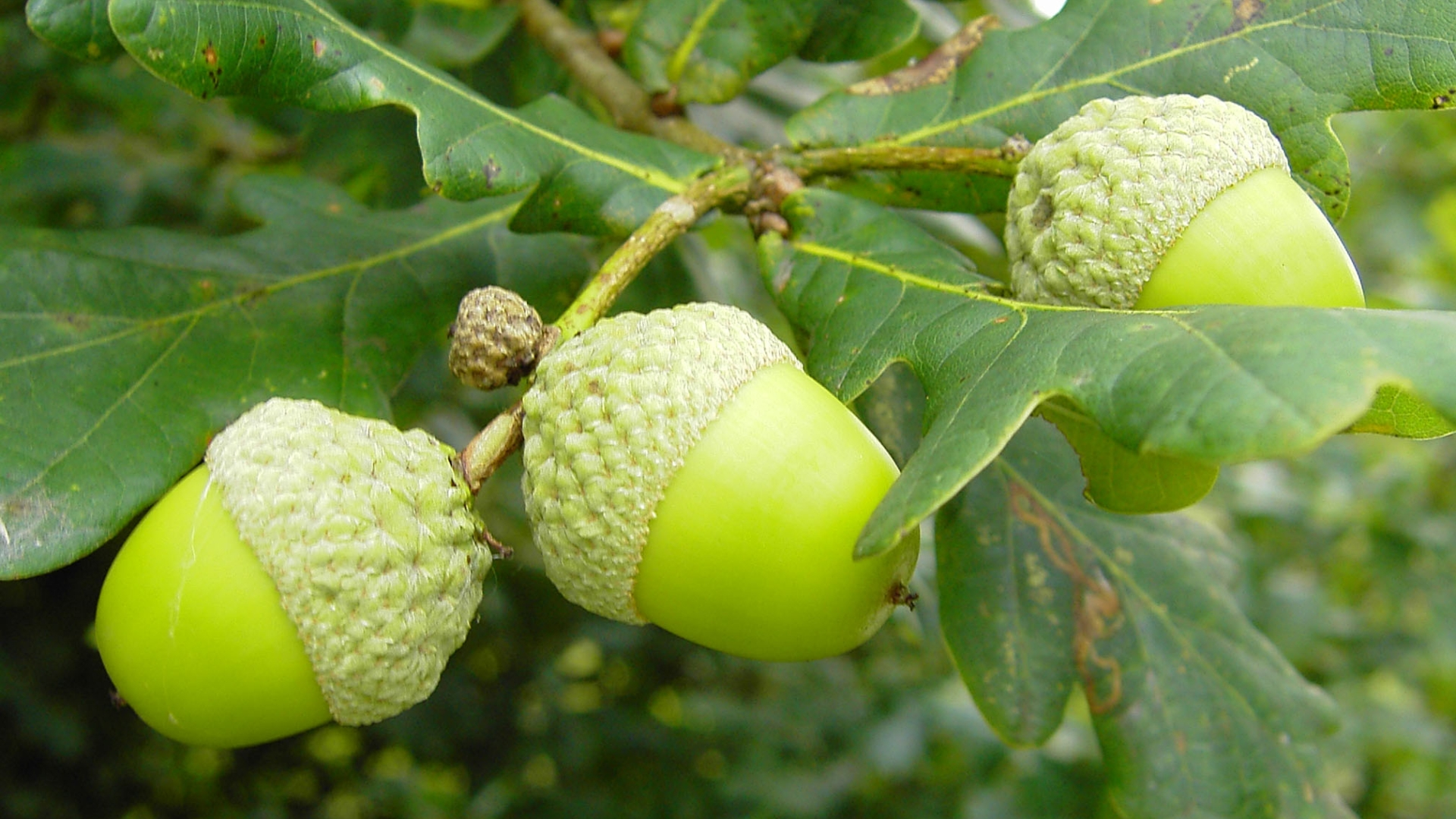 Acorn Wallpapers Pictures Images