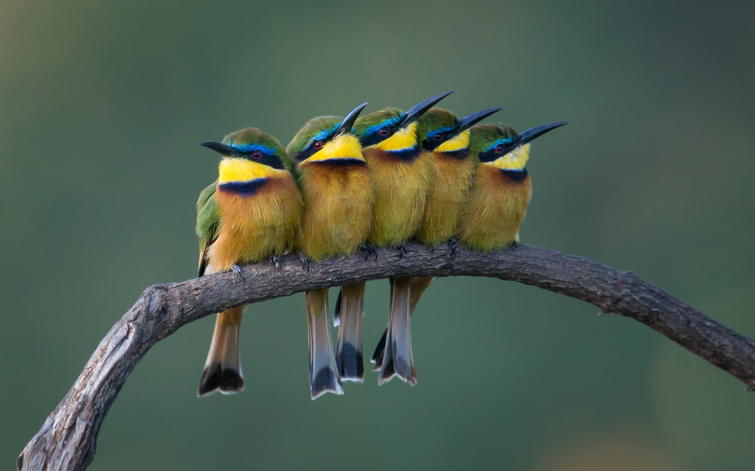 Bee-eater Wallpapers, Pictures, Images