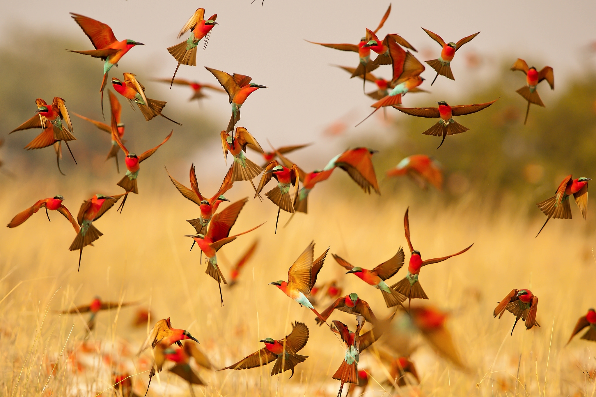 Bee Eater Wallpapers Pictures Images
