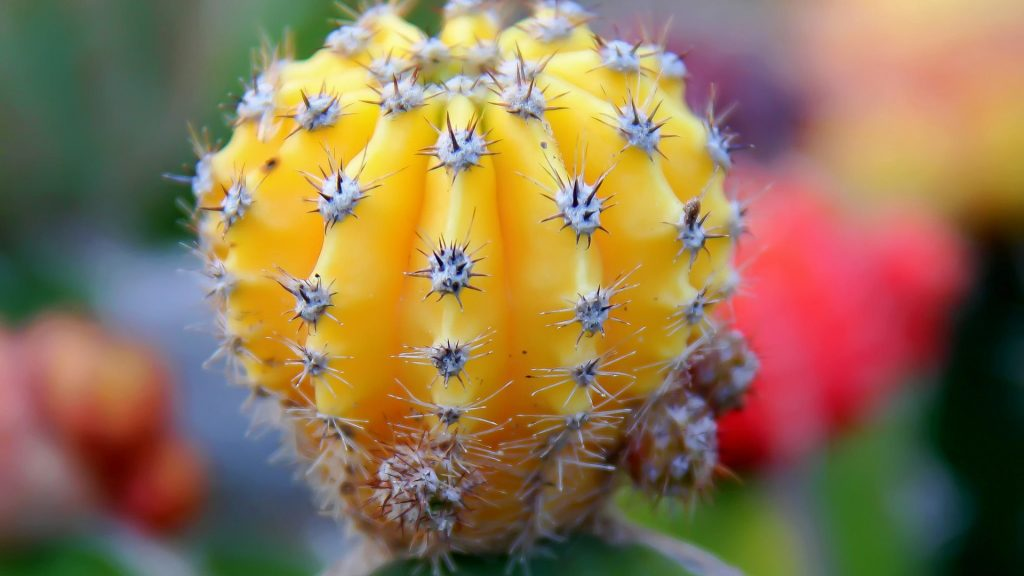 Cactus Full HD Wallpaper
