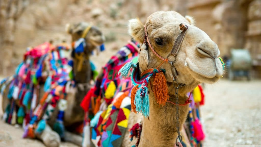 Camel 4K UHD Wallpaper