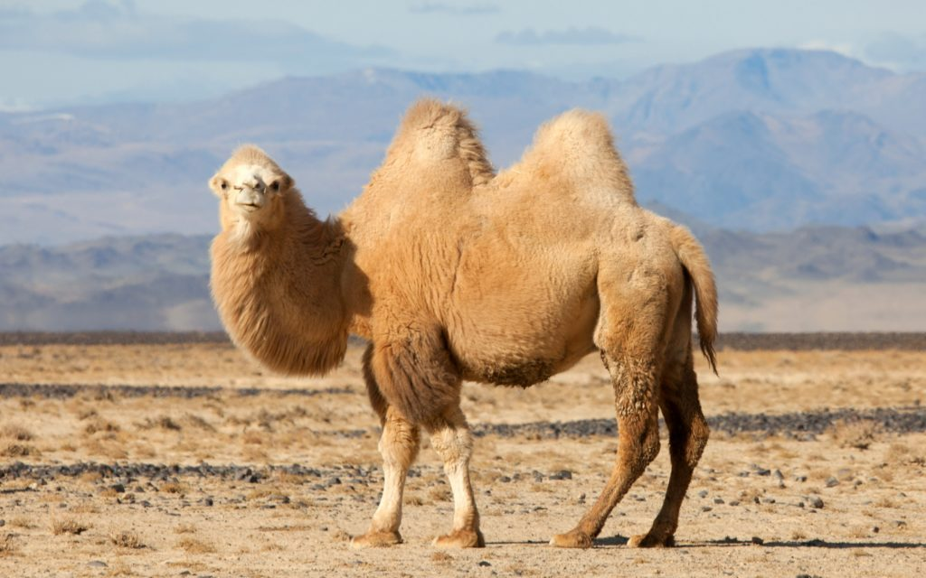 Camel Widescreen Wallpaper