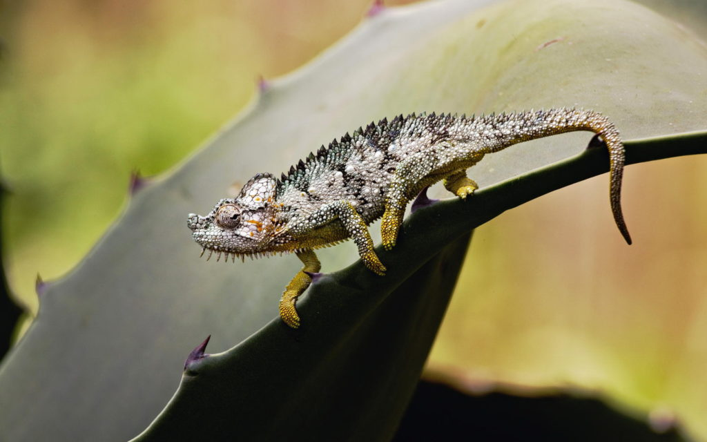 Chameleon Widescreen Wallpaper