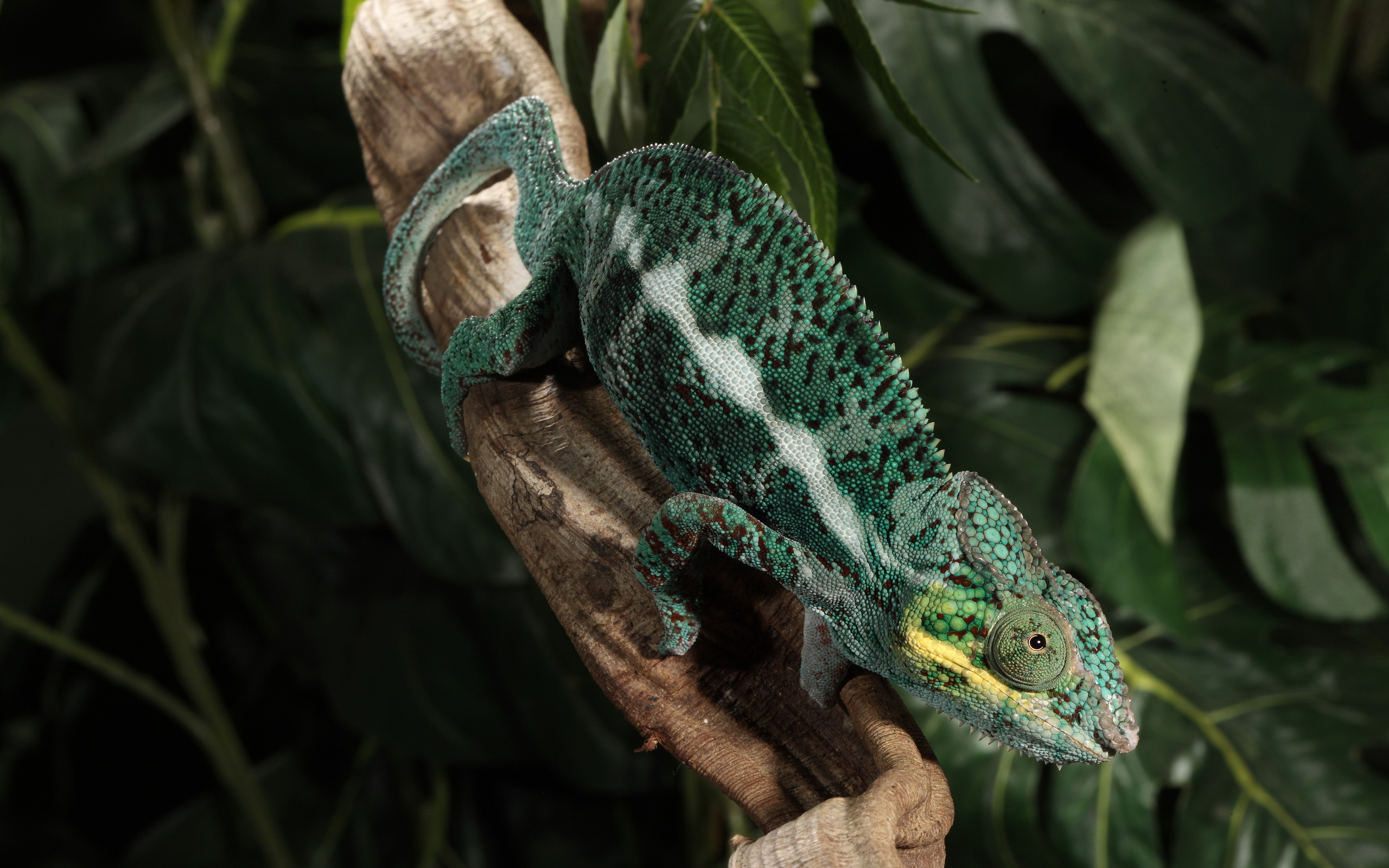 chameleon wallpapers pictures images