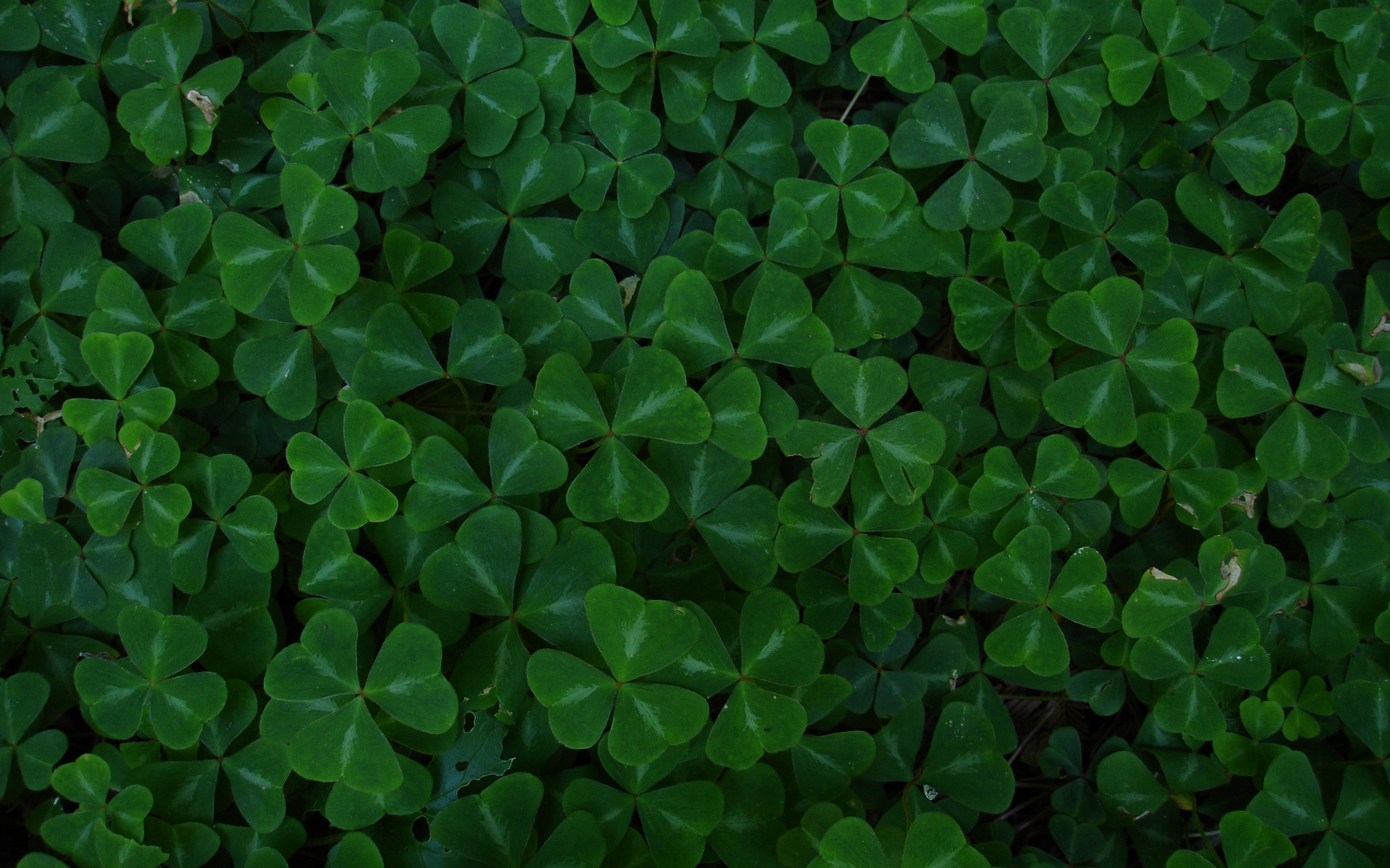 Clover Wallpapers Pictures Images