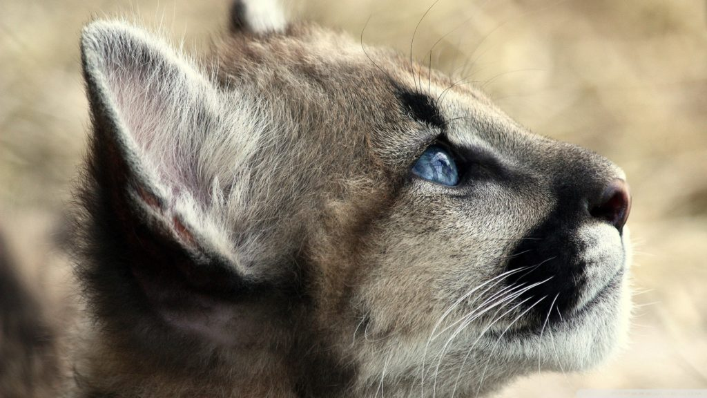 Cougar Full HD Wallpaper