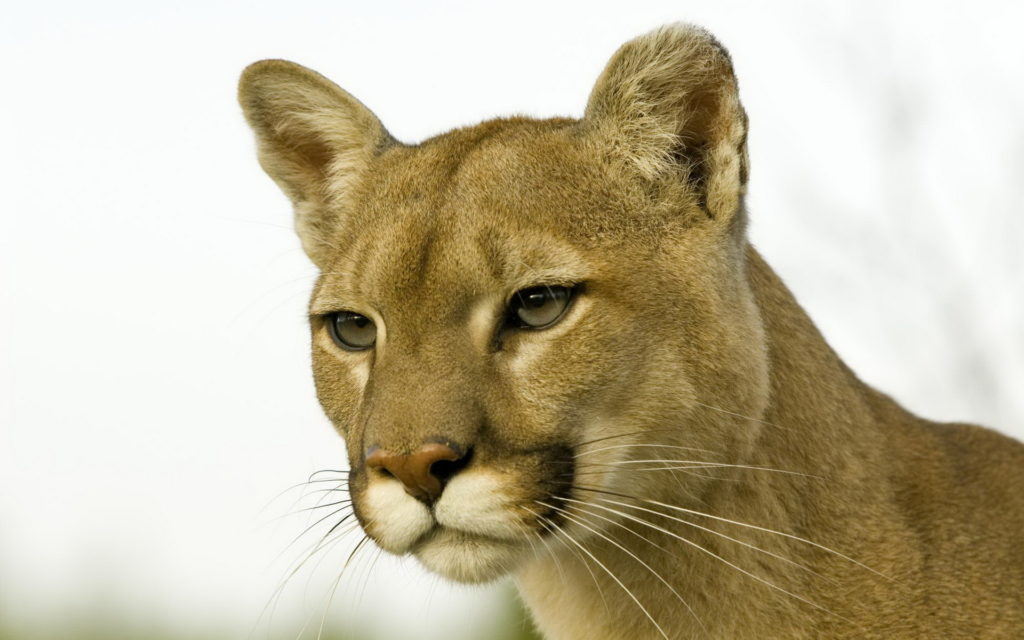 Cougar Widescreen Wallpaper