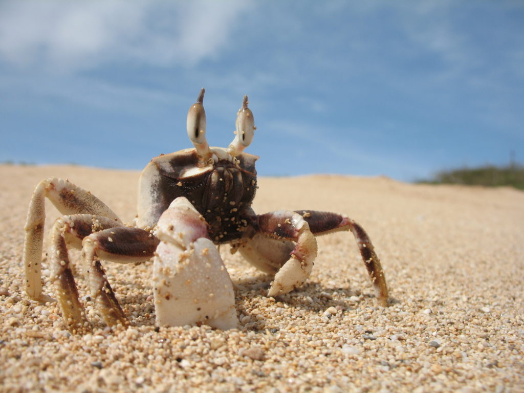 Crab Wallpaper
