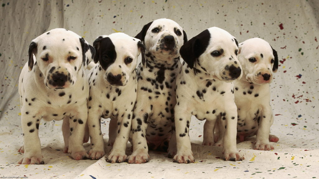 Dalmatian Full HD Wallpaper
