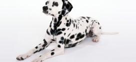 Dalmatian Wallpapers