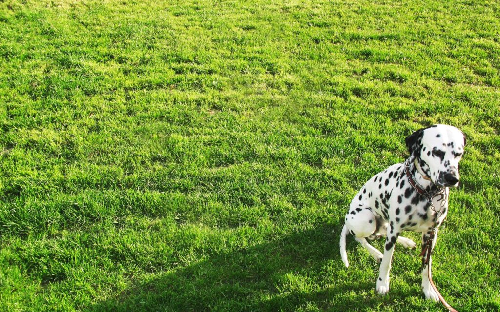 Dalmatian Widescreen Wallpaper