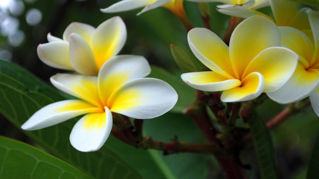 Frangipani Full HD Wallpaper 1920x1080