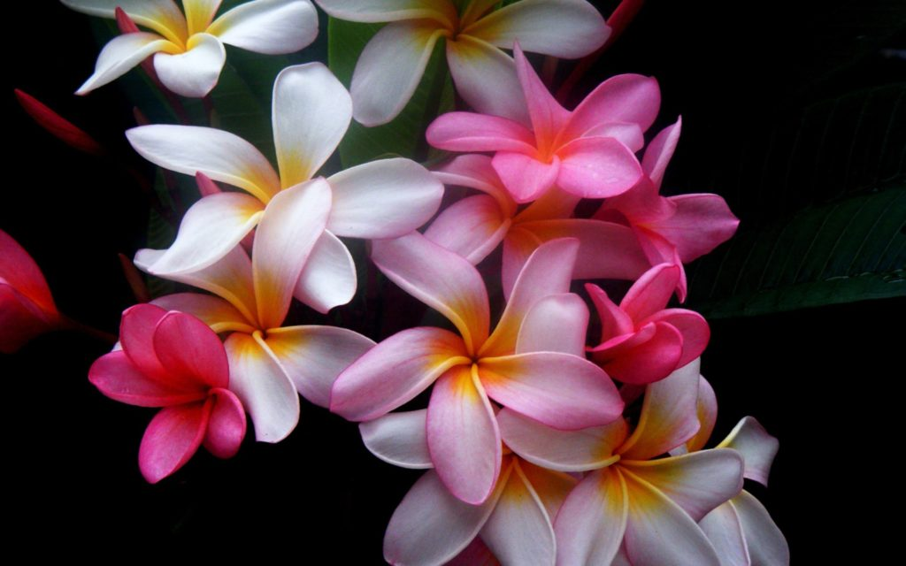 Frangipani Widescreen Wallpaper 1920x1200