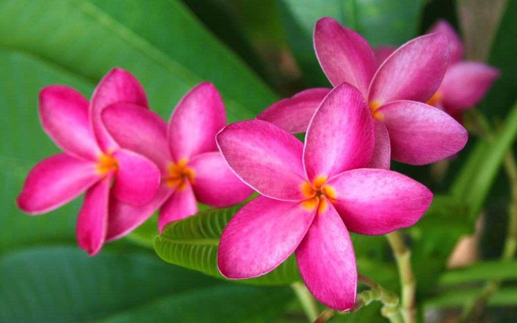 Frangipani Widescreen Wallpaper 2560x1600