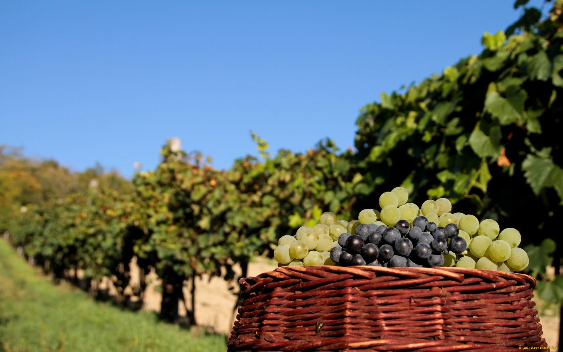 grapes wallpapers pictures images