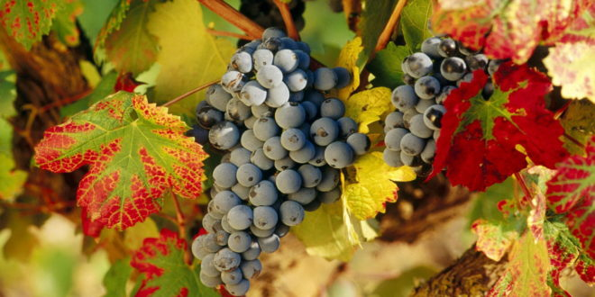 Grapes Wallpapers