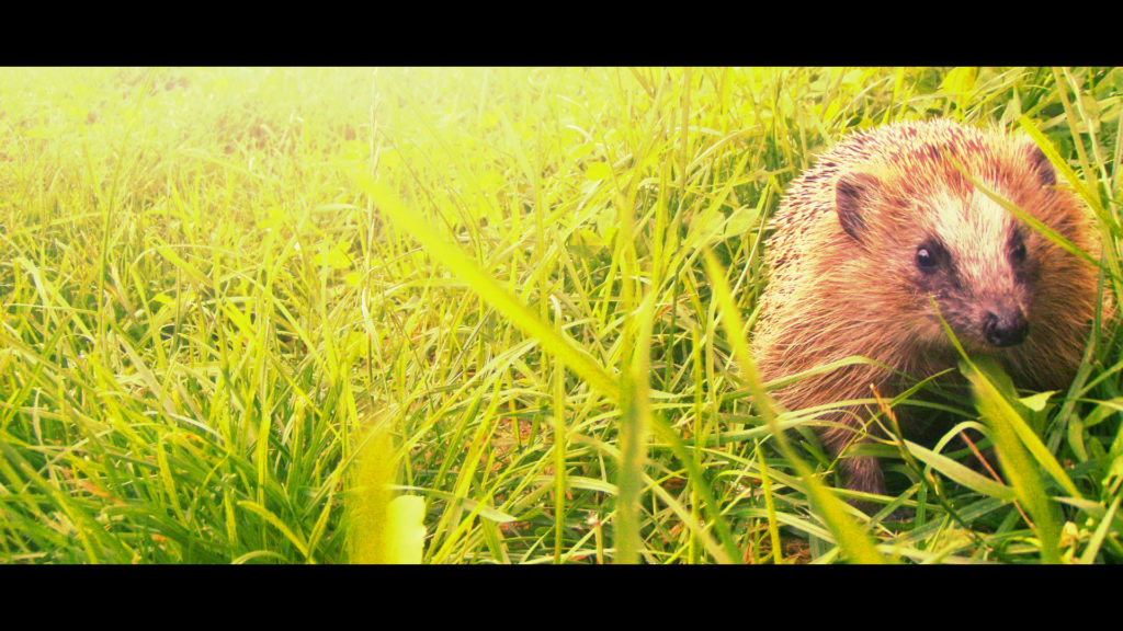 Hedgehog Full HD Wallpaper