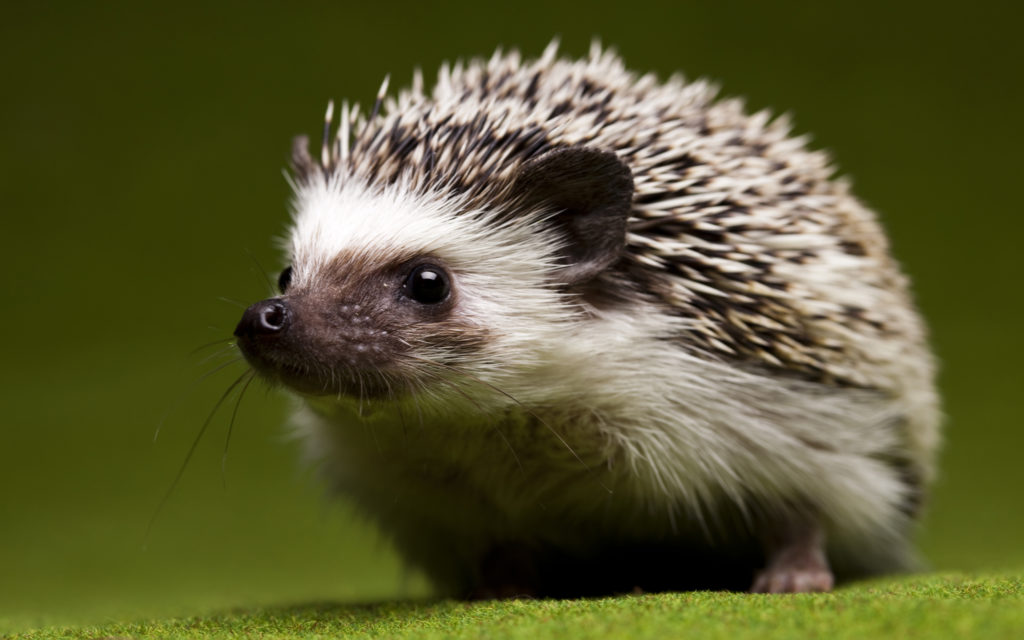Hedgehog Widescreen Wallpaper