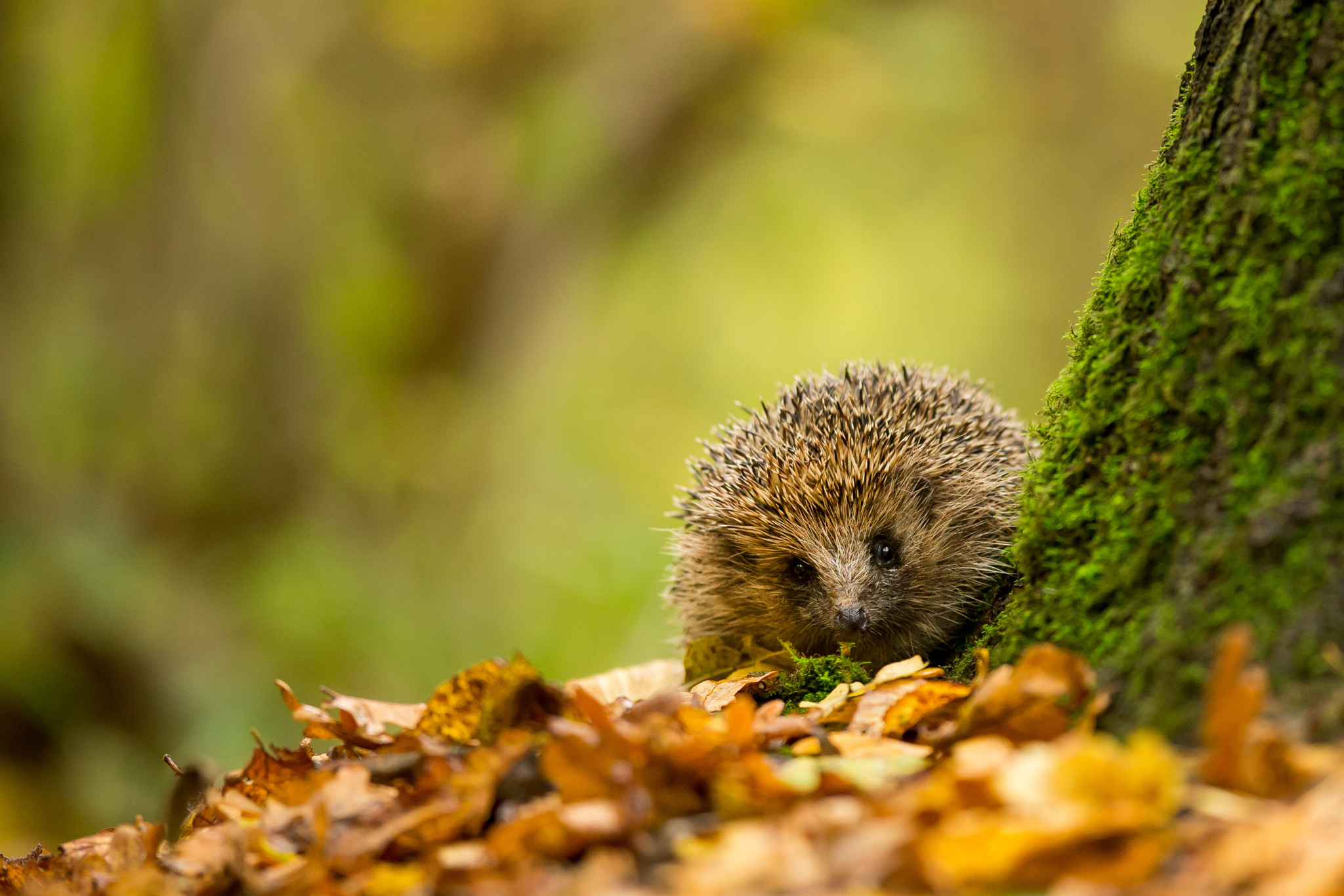 Hedgehog Wallpapers Pictures Images HD Wallpapers Download Free Images Wallpaper [1000image.com]