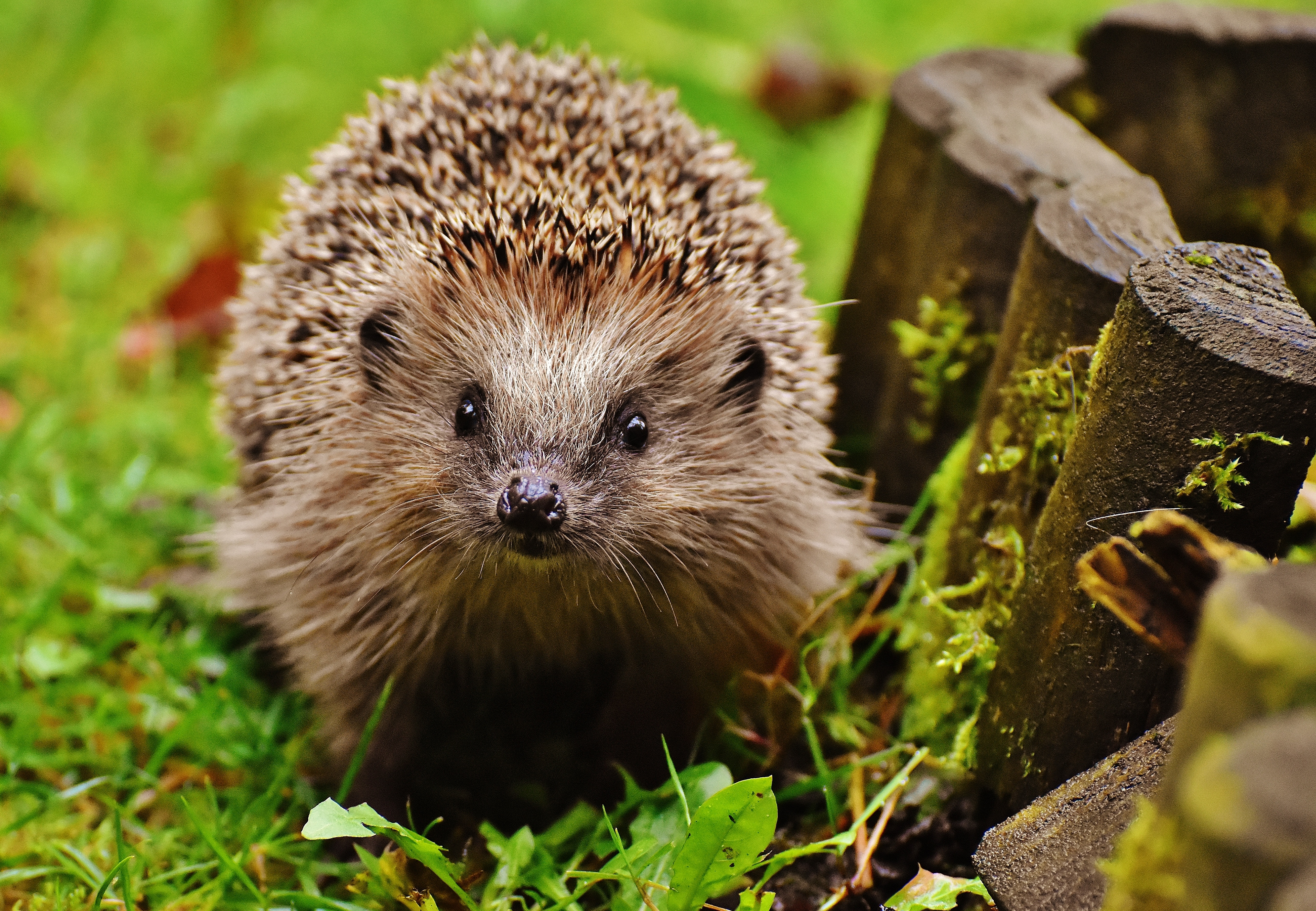 Hedgehog Wallpapers, Pictures, Images