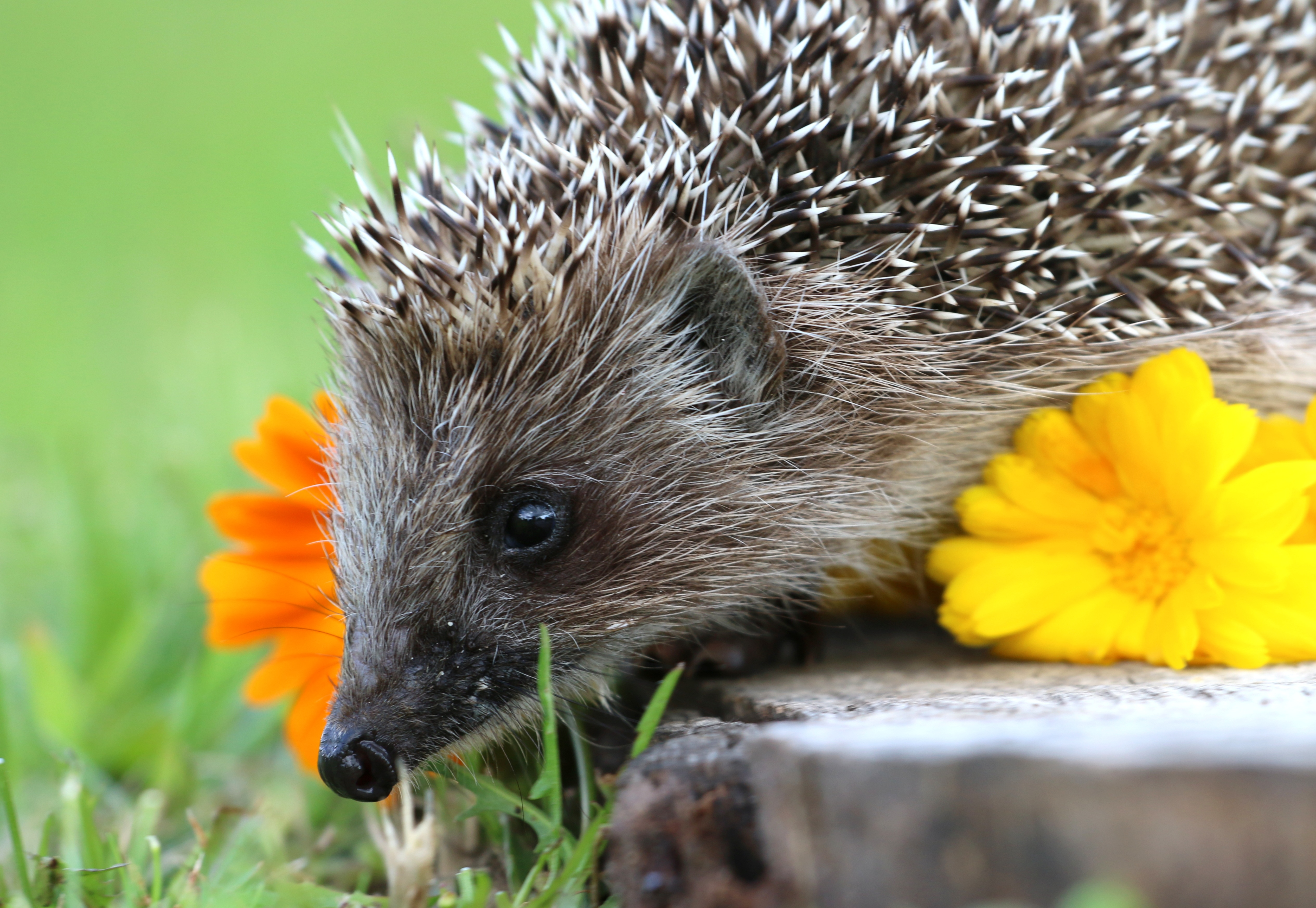 hedgehog wallpapers pictures images