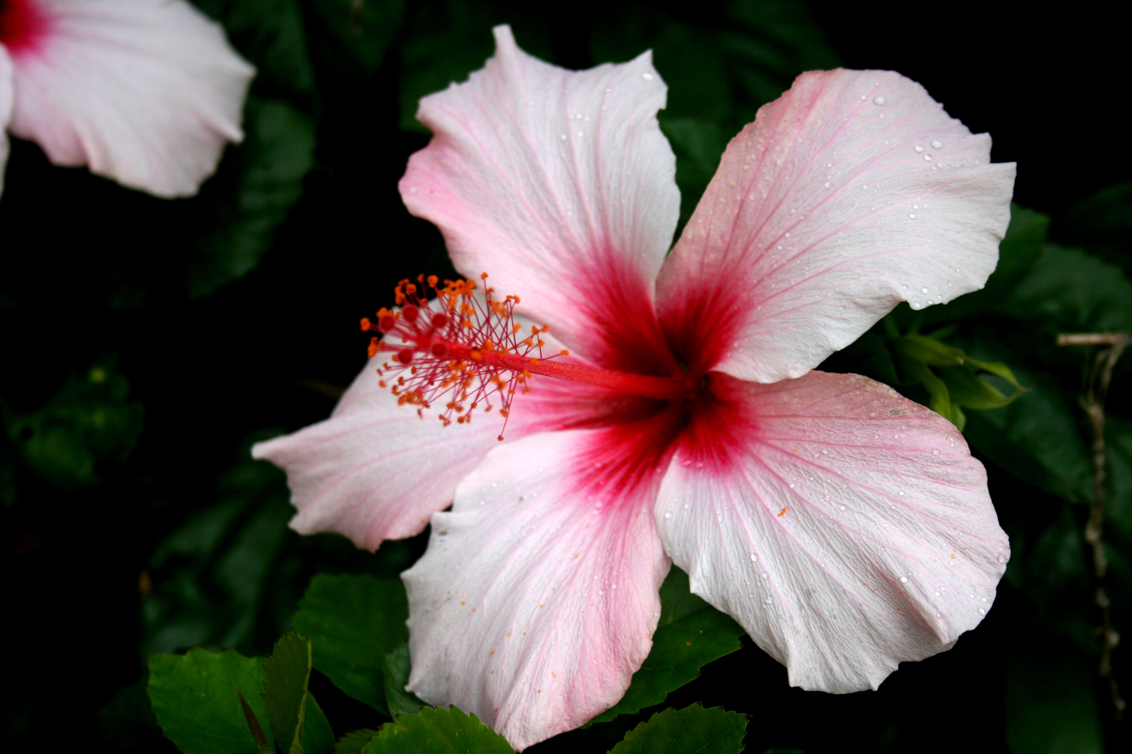 Hibiscus wallpapers pictures images - Hibiscus images download ...