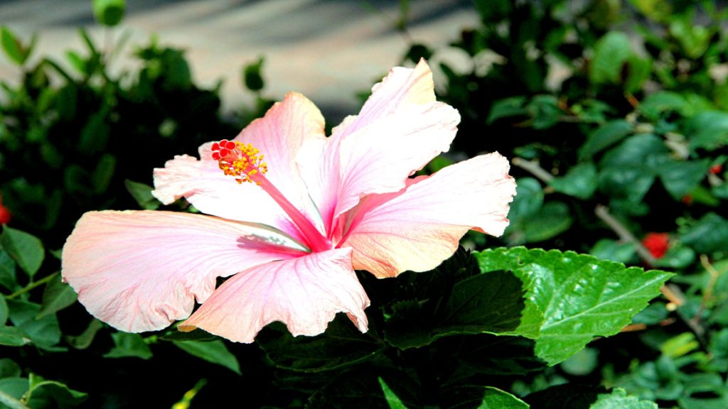 Hibiscus Full HD Wallpaper