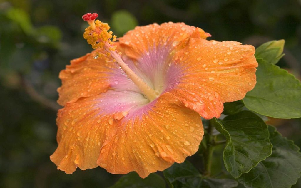 Hibiscus Widescreen Wallpaper