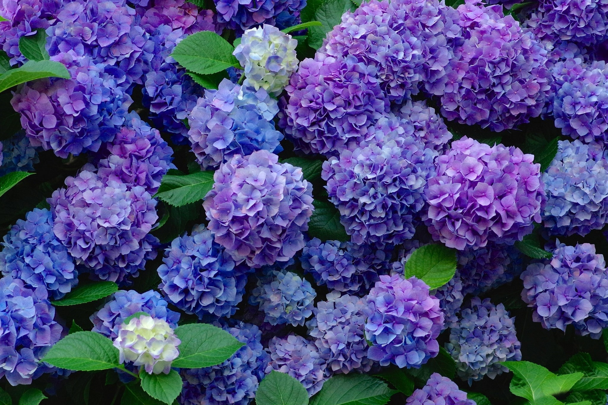 Hydrangea Wallpapers, Pictures, Images