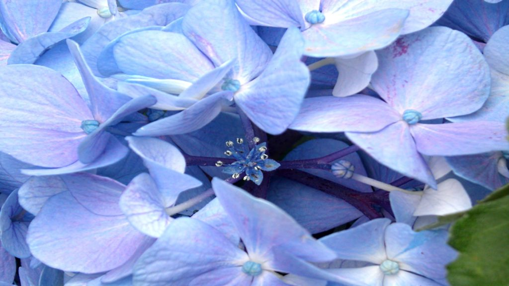 Hydrangea Full HD Wallpaper
