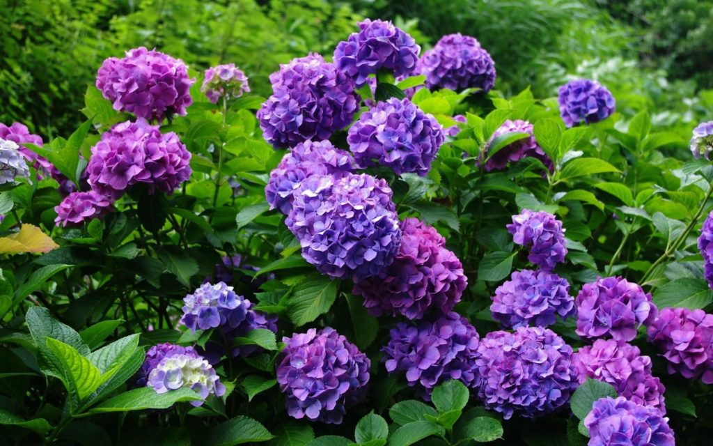 Hydrangea Widescreen Wallpaper