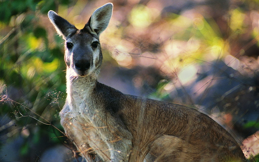 Kangaroo Widescreen Wallpaper