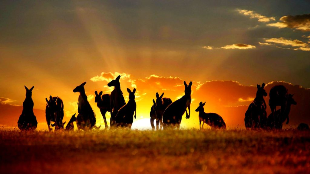 Kangaroo Full HD Wallpaper
