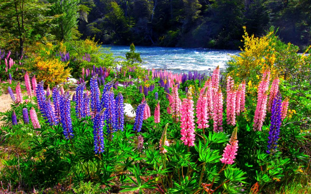 Lupine Widescreen Wallpaper