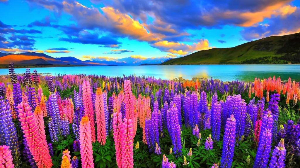 Lupine Full HD Wallpaper