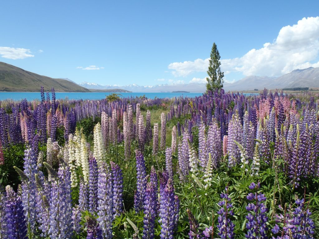Lupine Wallpaper