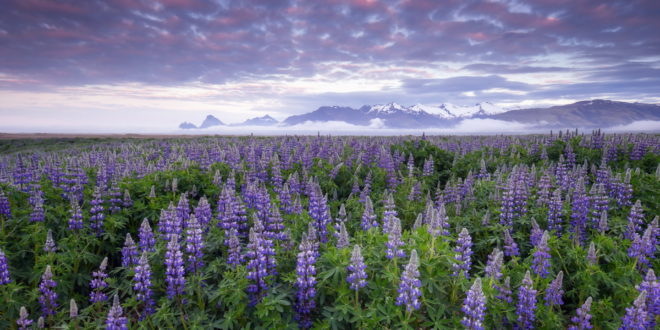 Lupine Wallpapers