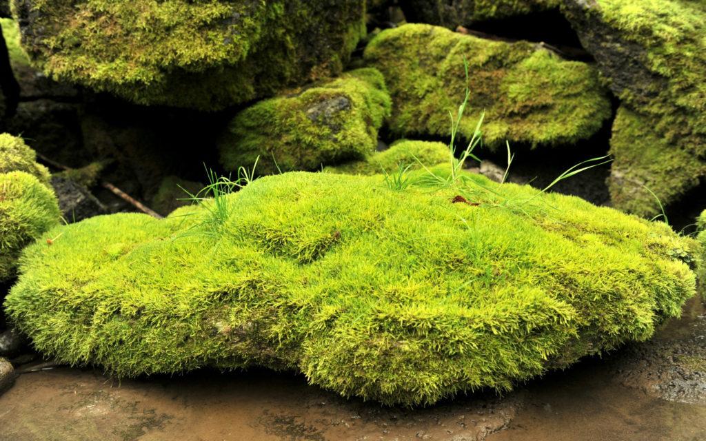 Moss Widescreen Wallpaper