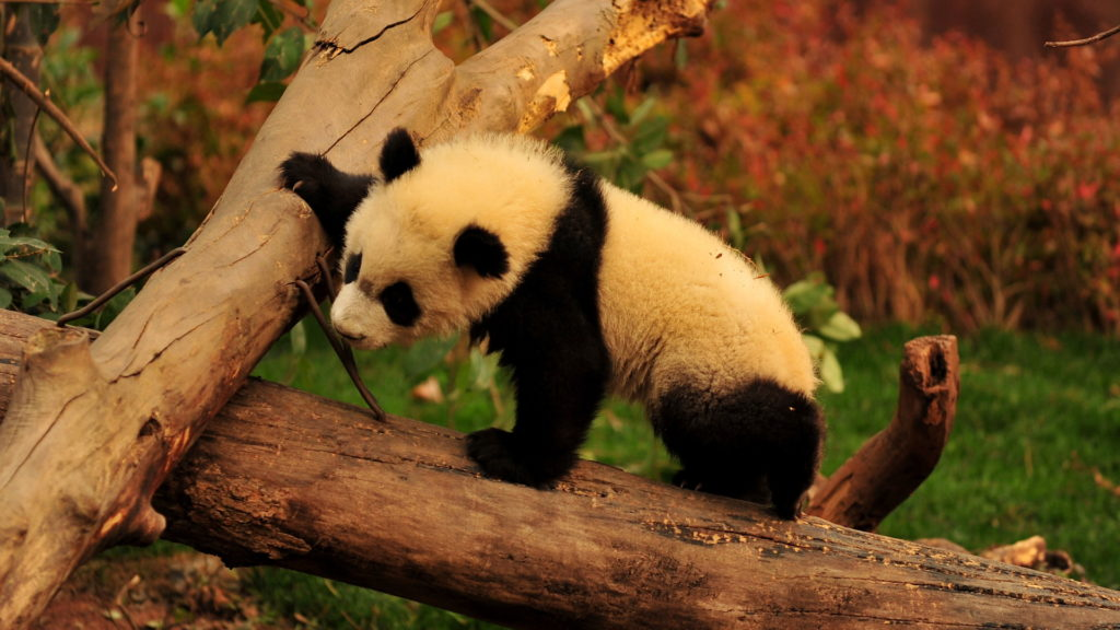 Panda Full HD Background