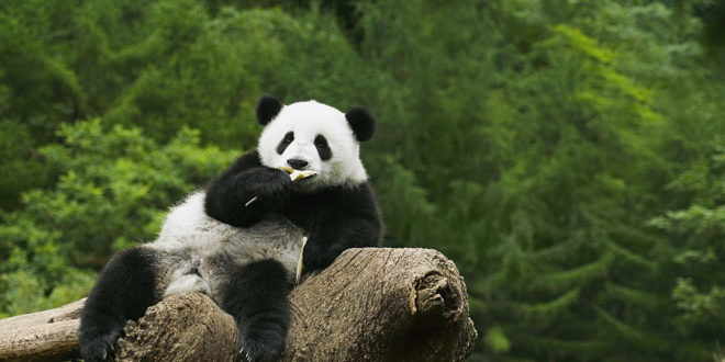 Panda Backgrounds