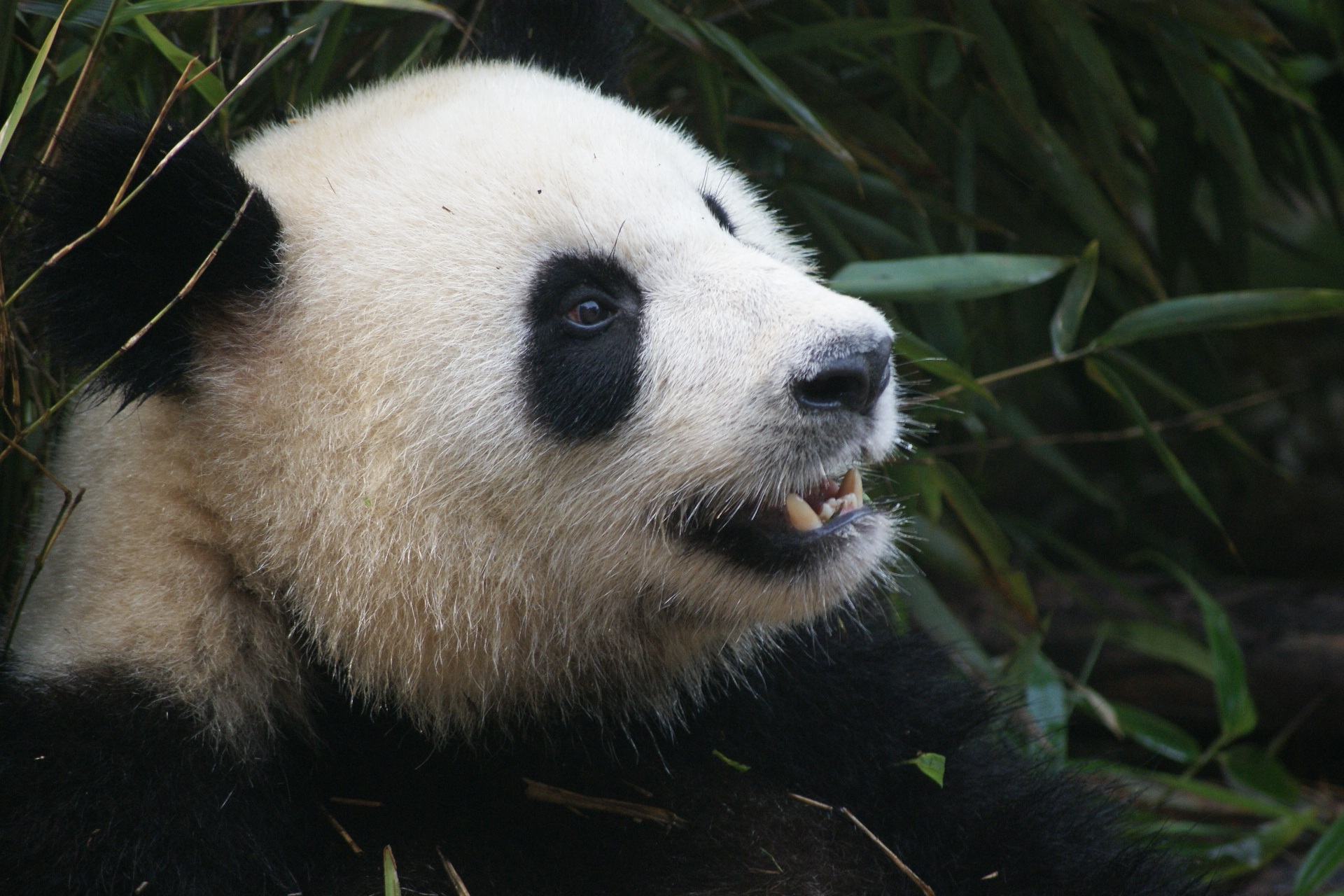 Panda Backgrounds, Pictures, Images