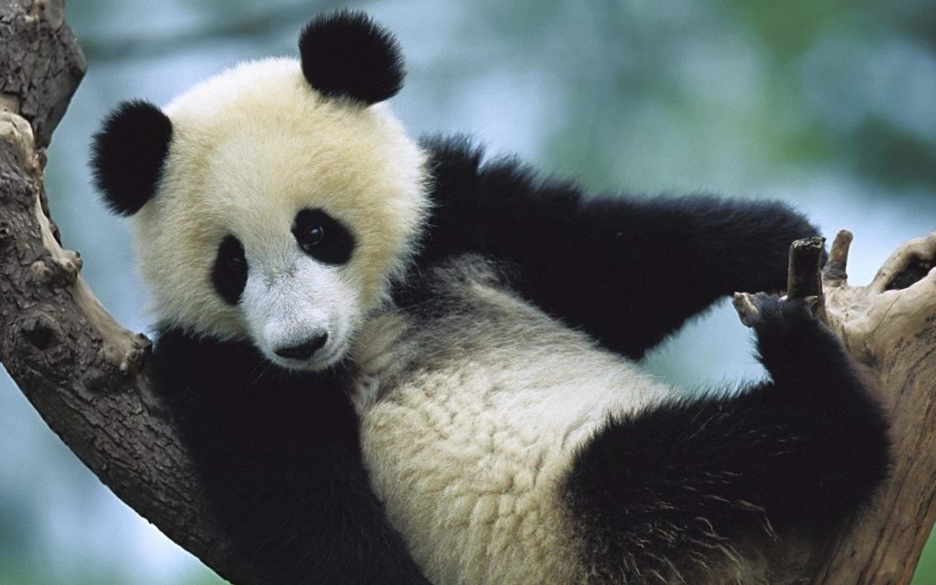 Panda Widescreen Background