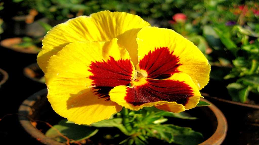 Pansy Full HD Wallpaper