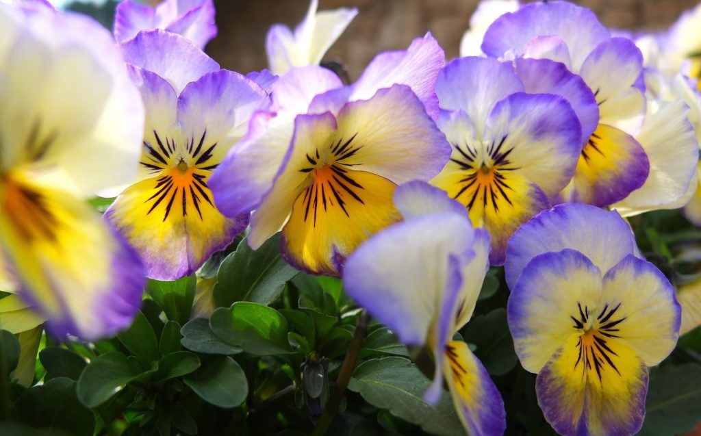 Pansy Wallpaper