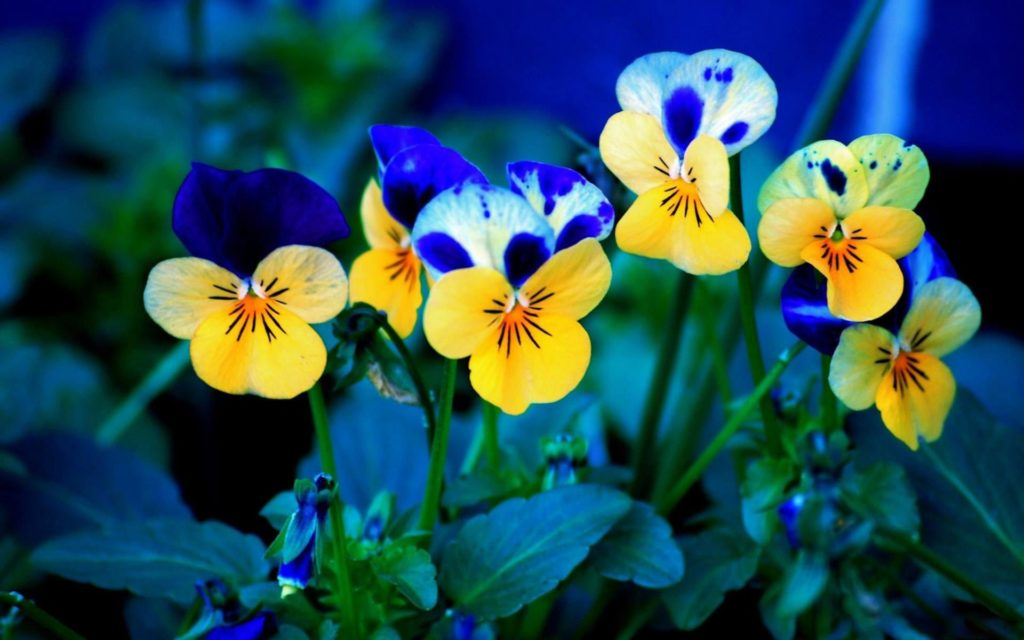Pansy Widescreen Wallpaper